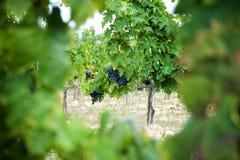Uva del vino rosso sulla vecchia vite, Toscano immagini stock