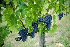 Uva del vino rosso sulla vecchia vite, Toscano fotografia stock
