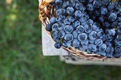 Uva del vino rosso uva scura, uva blu, acini d'uva in un prendere il sole Immagine Stock