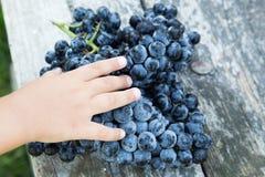 Uva del vino rosso uva scura, uva blu, acini d'uva in un prendere il sole Immagini Stock