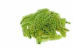 Uva dell'alga o del mare di caulerpa lentillifera o alimento sano del caviale verde isolato con fondo bianco Immagine Stock