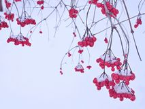Uva delle bacche rosse contro neve bianca Fotografia Stock