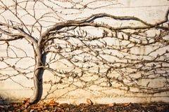 Uva di Autmunal nella parete Fotografie Stock
