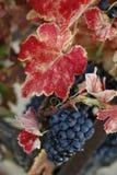Uva di autunno Fotografie Stock