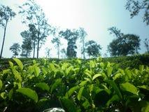 Uva di badulla di Welimada della proprietà di Dayaraba Immagini Stock