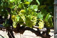 Uva di Chardonnay immagine stock libera da diritti