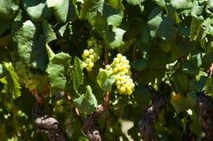 Uva di Chardonnay fotografie stock libere da diritti