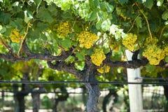 Uva di Chardonnay fotografia stock libera da diritti