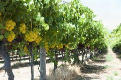 Uva di Chardonnay fotografie stock