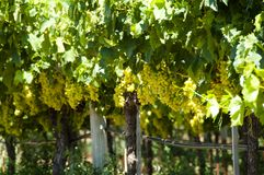 Uva di Chardonnay fotografia stock