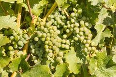 Uva di Chardonnay che matura sulla vite in vigna immagini stock libere da diritti