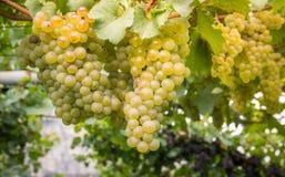 Uva di Chardonnay sulla vite in vigna, Tirolo del sud, Italia Chardonnay è una varietà verde-pelata dell'uva utilizzata nella pro immagine stock