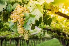 Uva di Chardonnay sulla vite in vigna, Tirolo del sud, Italia Chardonnay è una varietà verde-pelata dell'uva utilizzata nella pro immagini stock