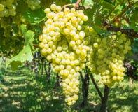 Uva di Chardonnay sulla vite in vigna, Tirolo del sud, Italia Chardonnay è una varietà verde-pelata dell'uva utilizzata nella pro immagine stock libera da diritti