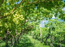 Uva di Chardonnay sulla vite in vigna, Tirolo del sud, Italia Chardonnay è una varietà verde-pelata dell'uva utilizzata nella pro immagini stock libere da diritti