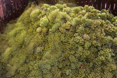 Uva di Chardonnay in torchio Immagine Stock