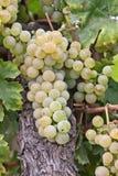 Uva di Chardonnay in Ungheria Immagini Stock Libere da Diritti