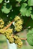 Uva di chardonnay verde immagini stock libere da diritti