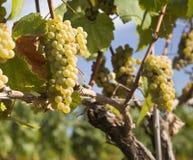 Uva di Chardonnay in vigna immagini stock libere da diritti