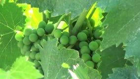 Uva di Chianti sotto le foglie stock footage