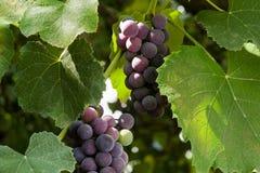 Uva di maturazione dell'uva di Isabella illuminata dal sole immagini stock libere da diritti