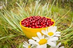 Uva di monte rossa in una tazza sull'erba con le margherite del giacimento di fiori bianchi, disposizione piana Fotografie Stock