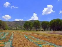Uva di Muscat al sole Immagine Stock