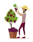 Uva di raccolto dell'uomo durante il raccolto del vino Fotografie Stock Libere da Diritti