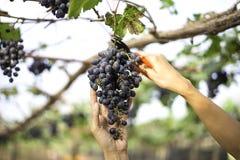 Uva di raccolto della donna dell'agricoltore durante il raccolto del vino, Immagine Stock