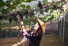 Uva di raccolto della donna dell'agricoltore durante il raccolto del vino Immagine Stock Libera da Diritti