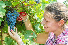 Uva di raccolto della donna durante il raccolto del vino Immagine Stock