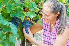 Uva di raccolto della donna durante il raccolto del vino Fotografie Stock