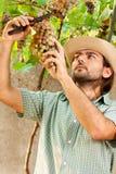 Uva di taglio del coltivatore Fotografia Stock