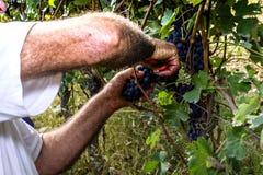 Uva di taglio dell'agricoltore con le forbici Fotografia Stock Libera da Diritti