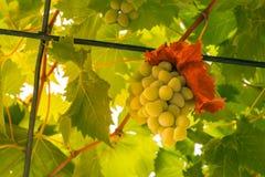 Uva di verde del vino bianco che cresce appendente sulla vite nel luccio della famiglia Fotografia Stock
