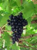 Uva do fruto Imagem de Stock Royalty Free