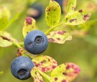 Uva-do-monte-Bush Imagem de Stock
