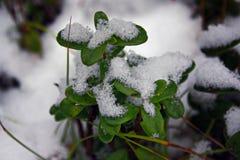 Uva-do-monte de Bush na floresta do inverno Imagens de Stock