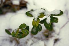 Uva-do-monte de Bush na floresta do inverno Imagens de Stock Royalty Free