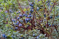 Uva-do-monte de pântano, uva-do-monte do norte, uliginosum do Vaccinium, frutos no verão foto de stock royalty free