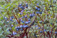 Uva-do-monte de pântano, uva-do-monte do norte, uliginosum do Vaccinium, frutos no verão fotografia de stock royalty free