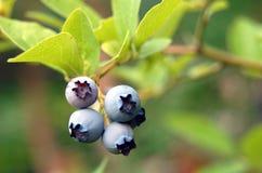 Uva-do-monte em um arbusto Fotografia de Stock Royalty Free