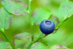 Uva-do-monte fresca Fotos de Stock