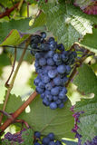 Uva do vinho tinto Fotografia de Stock