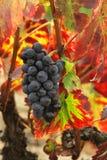 Uva e fogli dell'uva rossa Immagine Stock Libera da Diritti
