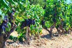 Uva e vecchie vigne Fotografia Stock