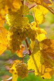 Uva e viti in autunno Immagine Stock Libera da Diritti