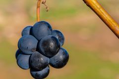 Uva en el último otoño que cuelga en el sol imagenes de archivo