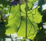 Uva en el jardín Imágenes de archivo libres de regalías