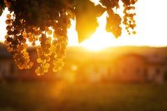 Uva en la puesta del sol Fotos de archivo